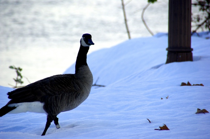 A Canadian Goose