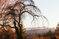 Willow Tree at Pittock Mansion