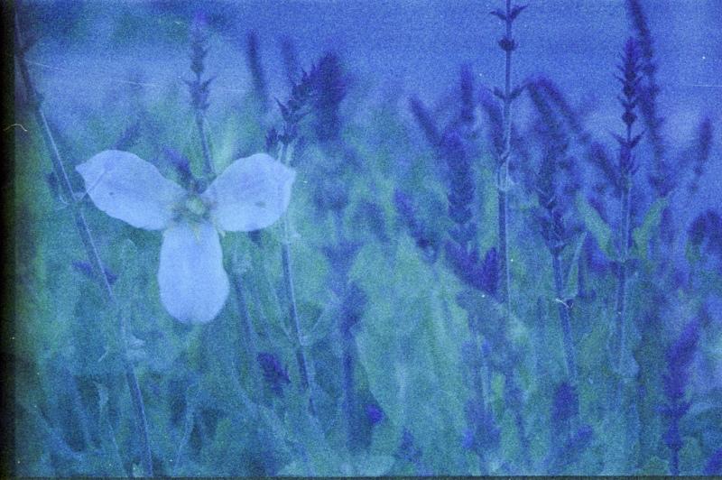 trillium and lavender