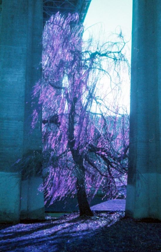 purple wisp