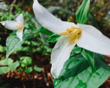 4/9: It's Trillium season!