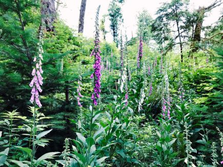 Foxglove filling in the clearcut