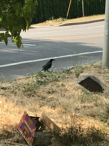 I think this is a raven. It's huge. Way bigger than a crow.